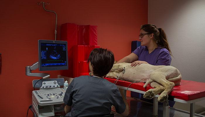 Cardiologie vétérinaire